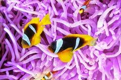 逗人喜爱的小丑鱼夫妇在银莲花属的灌木的  免版税库存图片