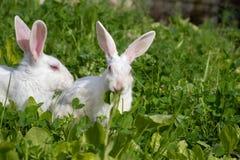 逗人喜爱的小兔坐绿草在庭院里 免版税库存照片