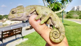 逗人喜爱的小变色蜥蜴坐手 免版税库存照片