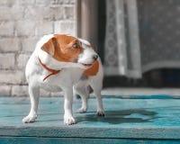 逗人喜爱的小在房子门廊的狗起重器罗素狗常设外部半面孔画象在门户开放主义附近的夏日 库存照片