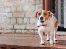 逗人喜爱的小在老砖房子木门廊的狗起重器罗素狗常设外部前面画象在开放旁边的 库存照片