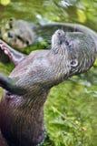 逗人喜爱的小型抓的水獭 免版税库存图片