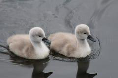 逗人喜爱的小天鹅夫妇 库存图片