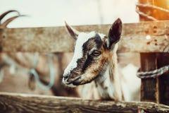 逗人喜爱的小山羊 免版税库存图片
