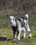 逗人喜爱的小山羊 库存照片