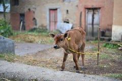 逗人喜爱的小母牛被栓对竹杆 库存图片