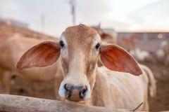 逗人喜爱的小牛特写镜头在Goshala -母牛的防护风雨棚 库存图片