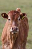 逗人喜爱的小牛 免版税库存照片