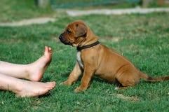 逗人喜爱的小狗和脚趾 免版税库存图片
