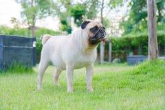 逗人喜爱的小狗哈巴狗立场的特写镜头面孔在绿草领域的 库存图片