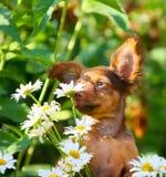 逗人喜爱的小狗嗅在街道上的白花 红发滑稽的狗的画象在春黄菊背景的  免版税库存图片