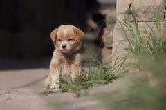 逗人喜爱的小狗在中国 免版税图库摄影
