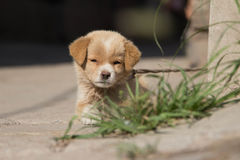 逗人喜爱的小狗在中国 免版税库存图片