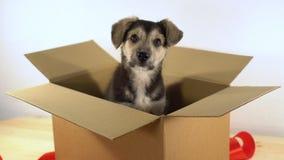 逗人喜爱的小狗在有红色丝带的一个纸板箱坐 免版税库存图片