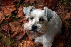 逗人喜爱的小狗坐红色秋天叶子 白色小髯狗党混合 库存图片
