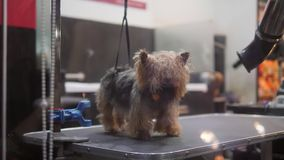 逗人喜爱的小狗干燥在洗涤和修饰在动物的沙龙以后 4K 影视素材