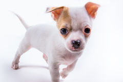 逗人喜爱的小狗来跑往照相机 免版税库存照片