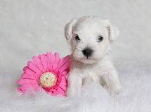 逗人喜爱的小狗白色 免版税库存图片