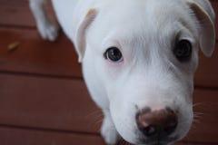 逗人喜爱的小狗白色 库存图片