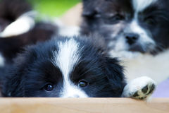 逗人喜爱的小狗看在床外面 免版税图库摄影