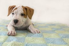 逗人喜爱的小狗美国斯塔福德郡狗在被编织的蓝色格子花呢披肩,特写镜头说谎 免版税库存图片
