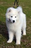 逗人喜爱的小狗萨莫耶特人 免版税库存图片