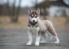 逗人喜爱的小狗西伯利亚爱斯基摩人 库存照片