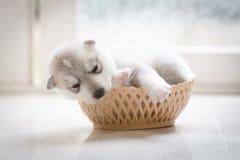 逗人喜爱的小狗西伯利亚爱斯基摩人 库存图片