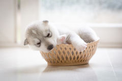 逗人喜爱的小狗西伯利亚爱斯基摩人 免版税库存照片