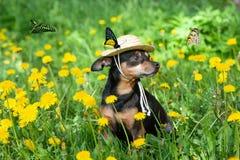 逗人喜爱的小狗,在一个开花的草甸的春天黄色颜色围拢的草帽的狗,蝴蝶之前飞行  图库摄影