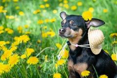 逗人喜爱的小狗,在春天黄色颜色的狗在一个开花的草甸,狗的画象 库存照片