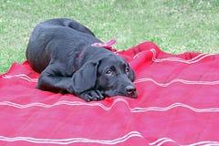 逗人喜爱的小狗黑色拉布拉多狗 库存照片