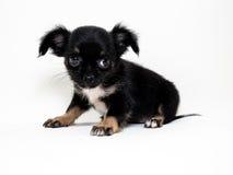 逗人喜爱的小狗Chiwawa 库存图片