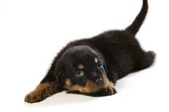 逗人喜爱的小狗rottweiler 免版税图库摄影