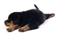 逗人喜爱的小狗rottweiler 图库摄影