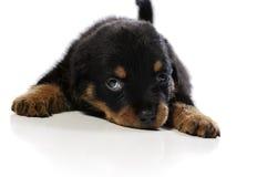 逗人喜爱的小狗rottweiler 库存图片
