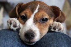 逗人喜爱的小猎犬小狗睡眠 免版税库存照片