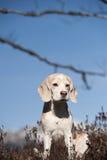 逗人喜爱的小猎犬开会 免版税库存照片