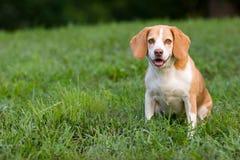 逗人喜爱的小猎犬注意您 免版税库存图片
