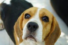 逗人喜爱的小猎犬狗 免版税库存照片