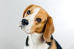逗人喜爱的小猎犬 库存图片