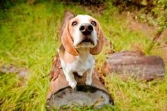 逗人喜爱的小猎犬 库存照片