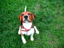 逗人喜爱的小猎犬 免版税图库摄影