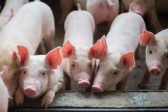 逗人喜爱的小猪在养猪场 免版税图库摄影