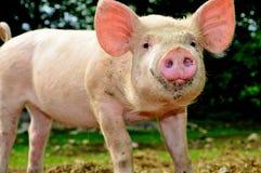 逗人喜爱的小猪年轻人 图库摄影