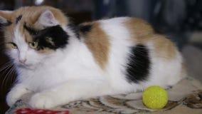 逗人喜爱的小猫、猫宠物、小家畜与颊须和毛茸的外套,红色,使用与黄色球户外  股票录像