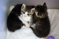 逗人喜爱的小猫三 库存照片