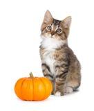 逗人喜爱的小猫用在白色的微型南瓜 免版税库存照片