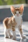 逗人喜爱的小猫红色 免版税库存照片