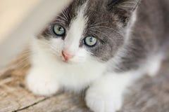 逗人喜爱的小猫纵向 与嫉妒的灰色和白色小猫在木地板,特写镜头上说谎 免版税图库摄影